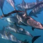 Delphine auf Hawaii
